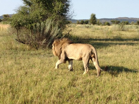 Morukuru Family Madikwe :                                     Another big male