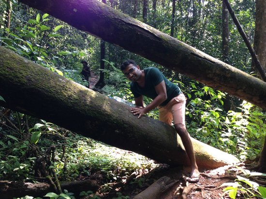 Sinharaja Forest Reserve:                   Chamal climbing thru trees