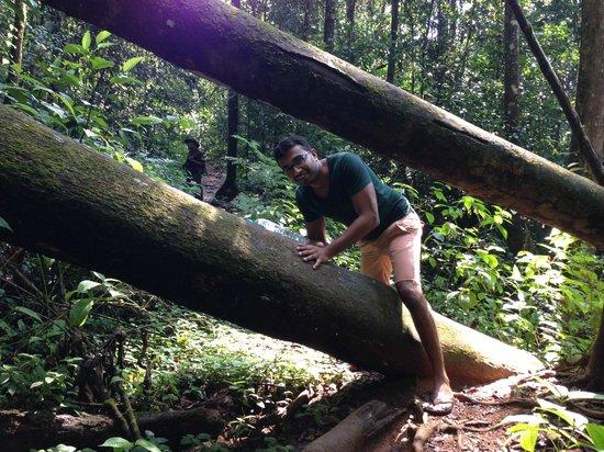 Sinharaja Forest Reserve:                   Chamal climbing thru trees                 