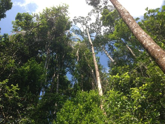 Sinharaja Forest Reserve:                   More Tall trees never seen before