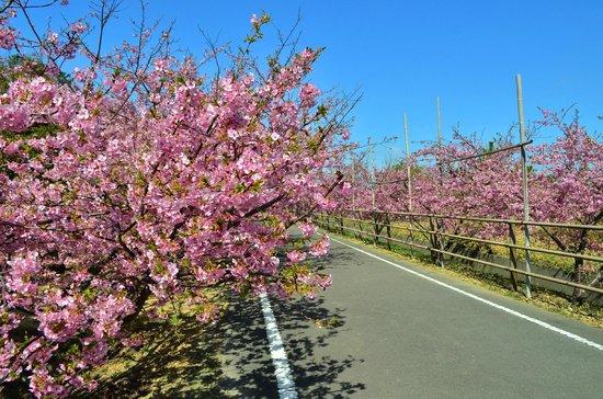 Omaezaki, Japón:                                     河津桜並木