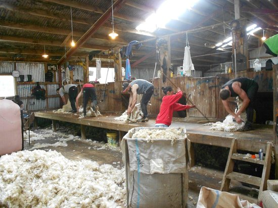 Catlins Farmstay B&B:                                     Sheep shearing at Catlins Farmstay