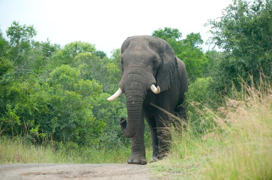 Hluhluwe Umfolozi Hilltop Camp:                   Magnificent elephant bull advancing steadily towards us