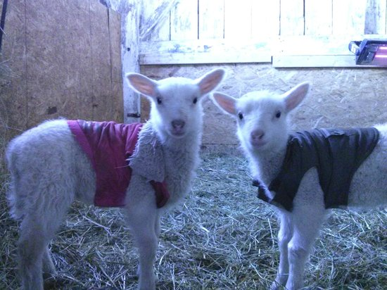 Franklin, NY:                   two of the new lambs