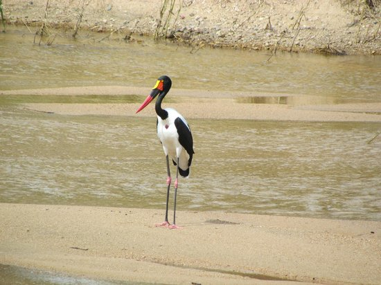 Jock Safari Lodge:                                     on the river from the restaurant,a Saddle-billed Stork