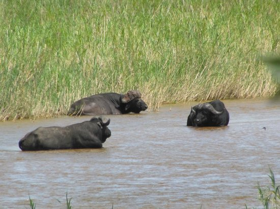 جوك سفاري لودج:                                     African Buffalo on the river from the room                 
