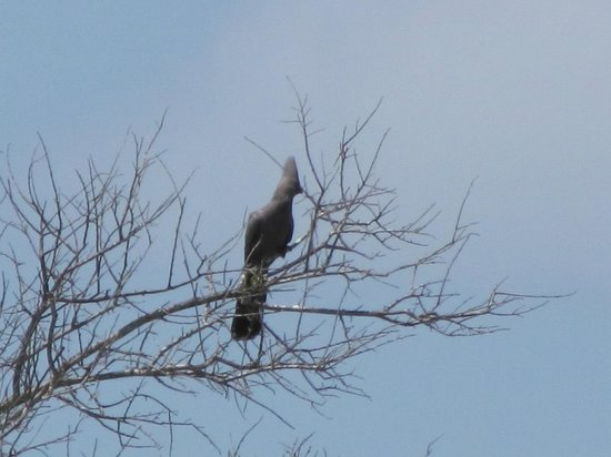 Jock Safari Lodge:                                     Grey Go-away Bird in the trees at Jock