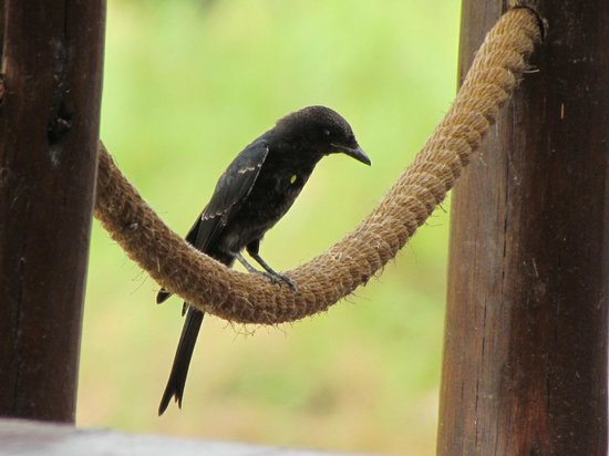 Jock Safari Lodge:                                     Fork-tailed Drongo at the restaurant