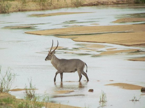 Jock Safari Lodge:                                     Waterbuck crossing the river near the restaurant