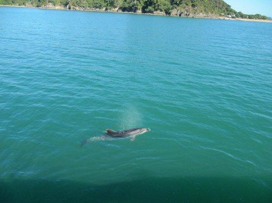 Avalon Resort : Dolfijnen kijken in Paihia, niet ver van Kerikeri