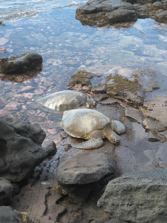Noelani Condominium Resort: Turtles on the rocks each night - please dont harass them!