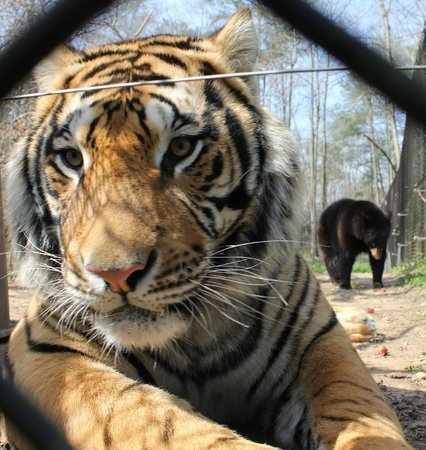 Noah's Ark Rehabilitation Center: Tiger & bear buddies