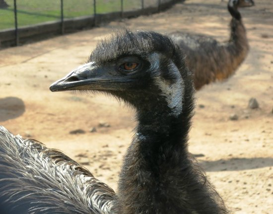 Noah's Ark Rehabilitation Center: Emu