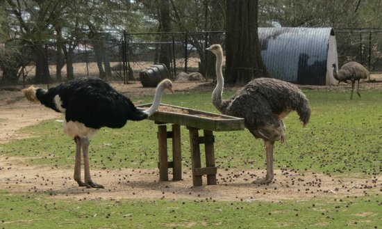 Noah's Ark Rehabilitation Center: Ostriches
