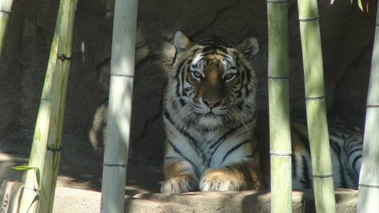 Riverbanks Zoo and Botanical Garden:                   Tiger at the Riverbanks Zoo