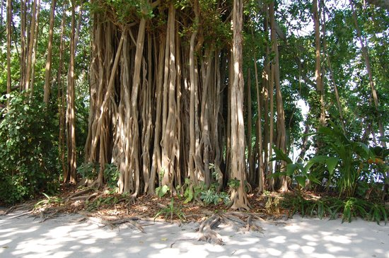 Biyadhoo Island Resort:                   lots of trees like this!