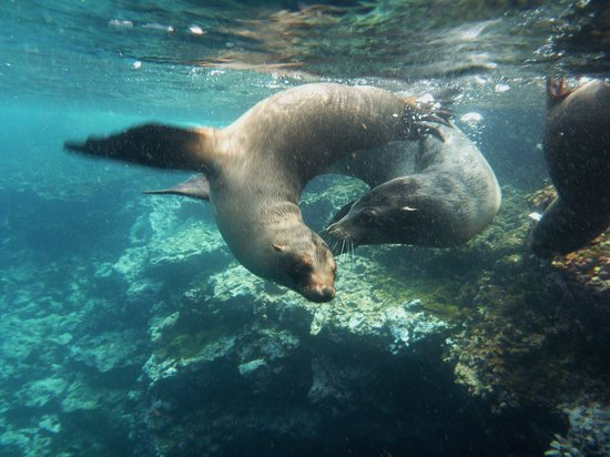 Galapagos Underwater:                   Playful sea lions