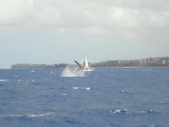 Teralani Sailing: Momma whale