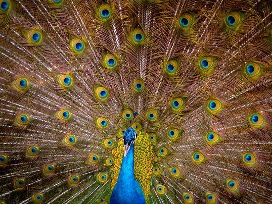peacock breakfastb