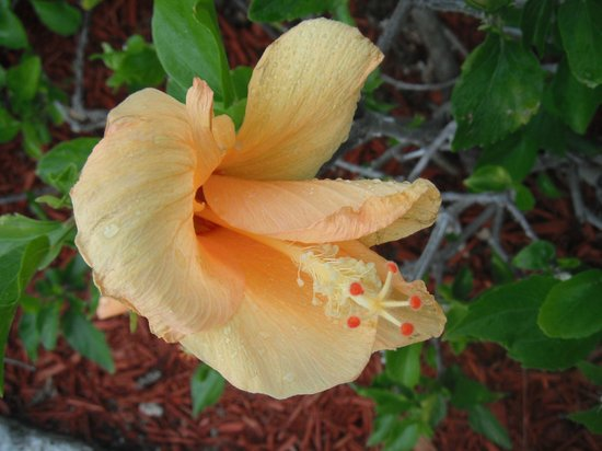 Grand Lucayan, Bahamas:                   flowers