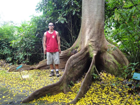 Hawaii Tropical Botanical Garden: That's a huge tree!