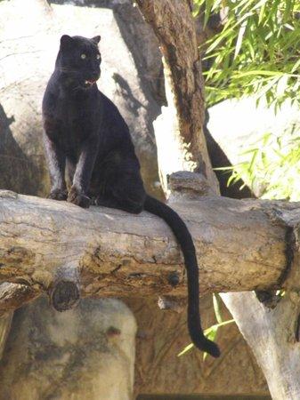 La Aurora Zoo: pantera