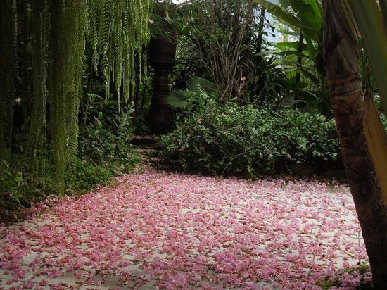The Museum of Floral Culture:                   満開のタイ桜が散り見事なピンクのカーペットに