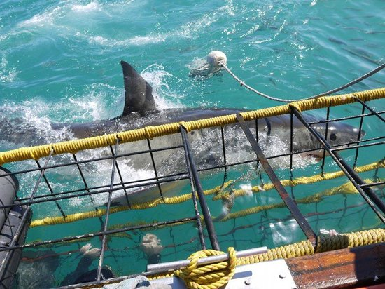 Shark Seekers: The View from the Cage
