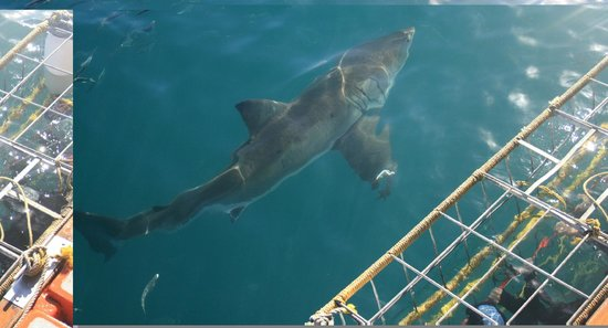 Shark Seekers: 4 Meter Beauty