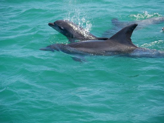 Discover Knysna:                   Dolphin Mum with baby