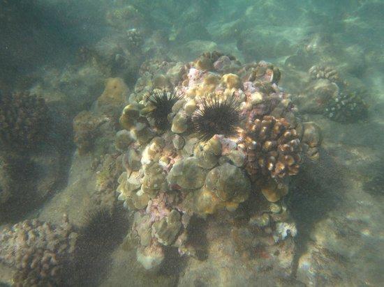 Kihei Beach:                   Kamaole Beach Park Snorkeling