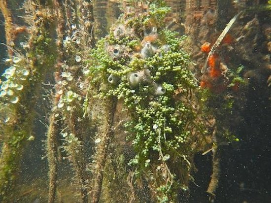 Sea Elements:                   Growing on the mangrove roots