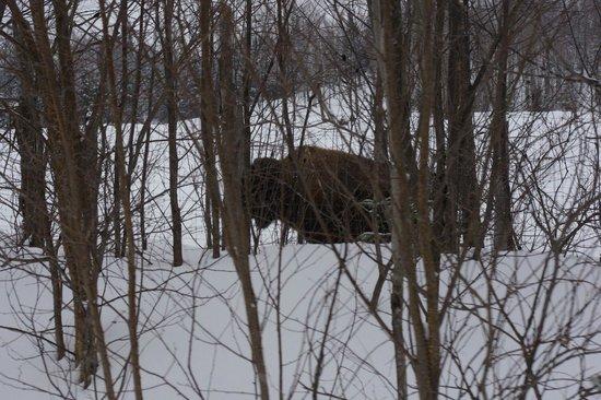 Kanatha-Aki:                   Encore un bison