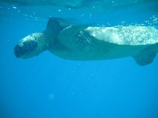 Maui Snorkel Tours:                   Large female turtle! So close :)                 