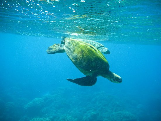 Maui Snorkel Tours:                   More turtles