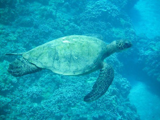 Maui Snorkel Tours:                   I believe this tutle is Ginger(?)... Jeffrey saved her life!                 