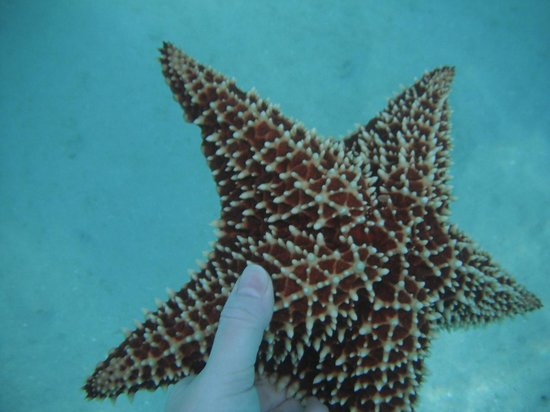 Caneel Bay Beach:                   Starfish spotted near shore