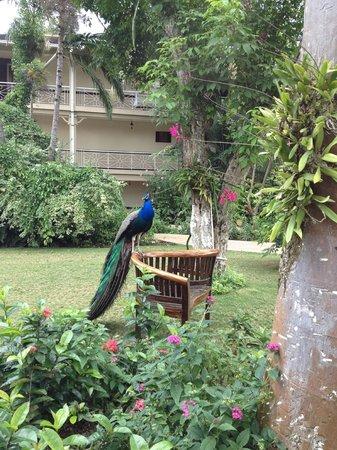 ساندلز رويال بلانتيشن أول إنكلوسيف:                   peacock on the property                 