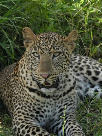 Mfuwe Lodge - The Bushcamp Company :                                     Leopard on safari
