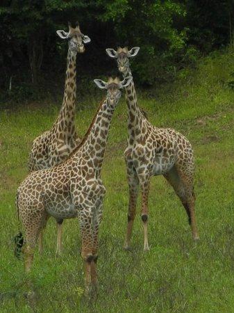 Mfuwe Lodge - The Bushcamp Company :                                     Giraffe outside our cottage