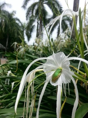 Paradise Links Resort Port Douglas: Baby Tree Frog on one of the garden's spider lilies - Priceless
