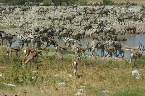 エトーシャ 国立公園 Picture