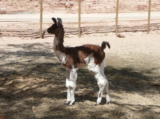 Alto Atacama Desert Lodge & Spa:                   newborn llama in the corral on the premises