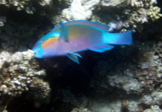 Sindbad Camp:                   rusty parrotfish