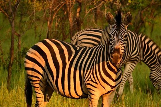 Nedile Lodge:                   Beautiful zebras on the Reserve