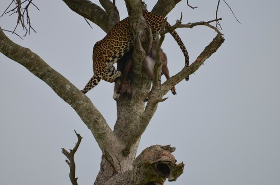 andBeyond Kichwa Tembo Tented Camp:                                     leopard with kill
