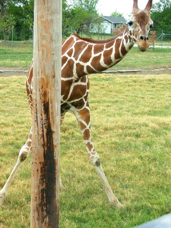 Tanganyika Wildlife Park:                   Giraffe playing peek a boo