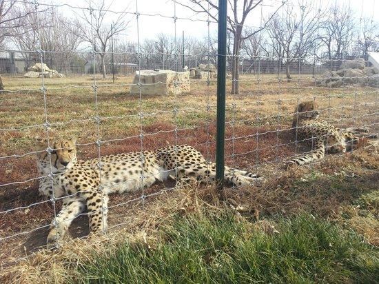 Tanganyika Wildlife Park:                   Purring cheetah sisters.