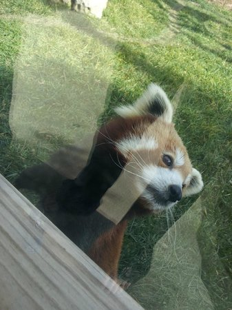 My favorite, the red panda  - Picture of Tanganyika Wildlife Park