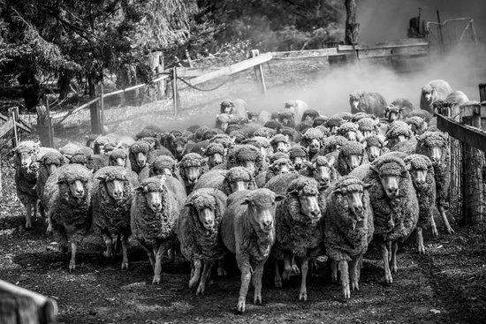Yallingup Shearing Shed:                   Sheep Herding